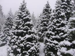Snowy Christmas Tree Farm